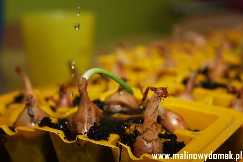 Wiosenne sadzenie cebulek, a doznania sensoryczne